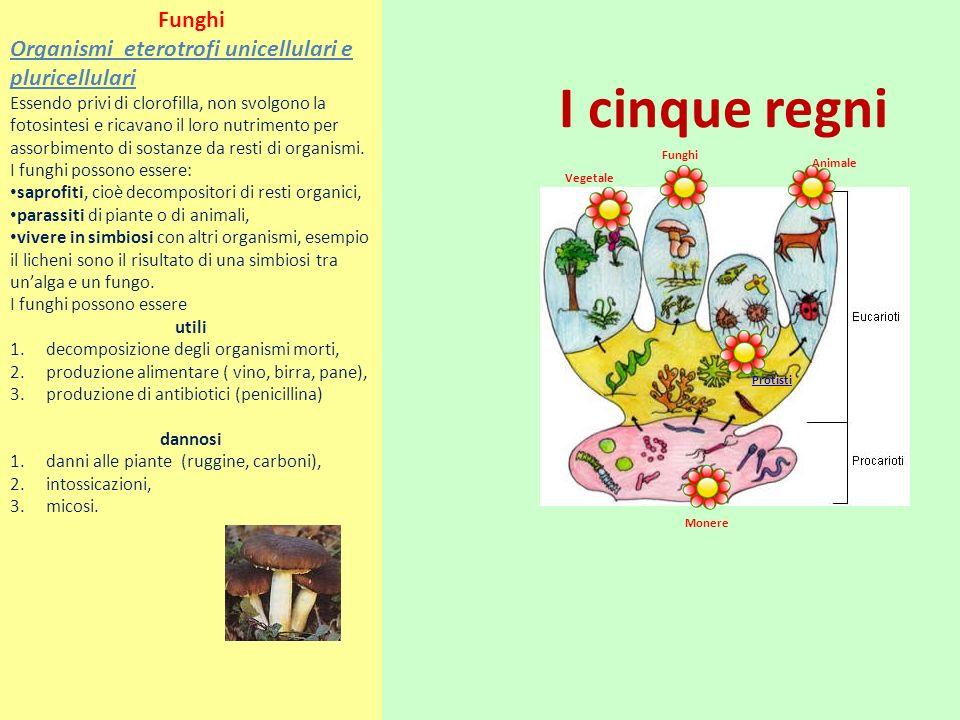 Funghi Organismi eterotrofi unicellulari e pluricellulari.