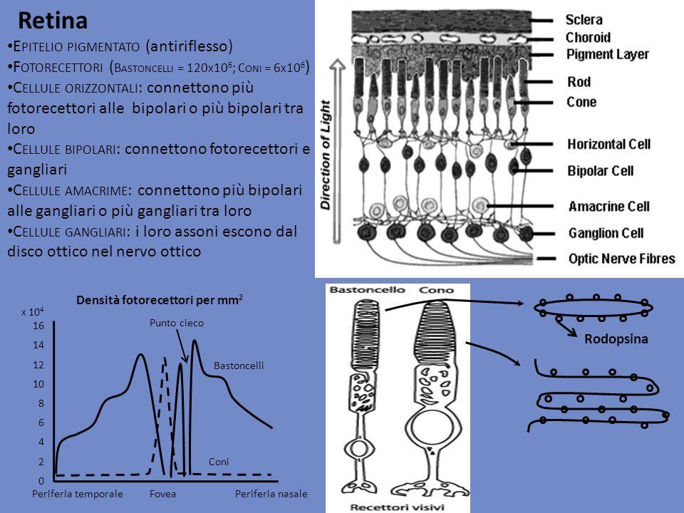 Retina Epitelio pigmentato (antiriflesso)