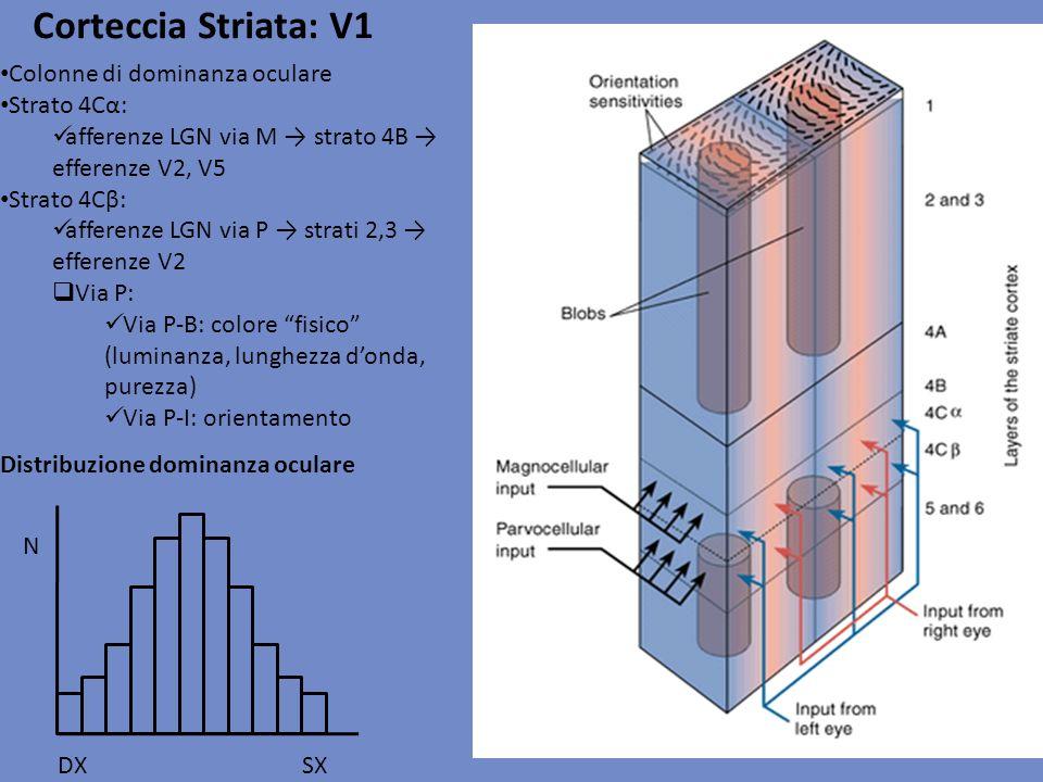 Corteccia Striata: V1 Colonne di dominanza oculare Strato 4Cα: