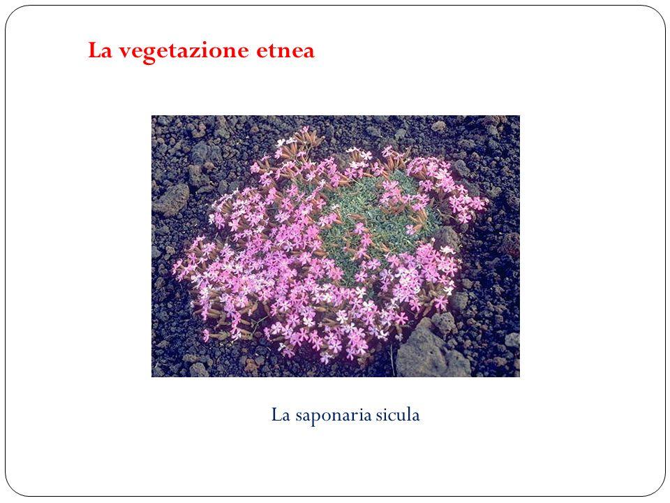 La vegetazione etnea La saponaria sicula