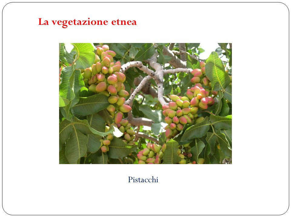 La vegetazione etnea Pistacchi