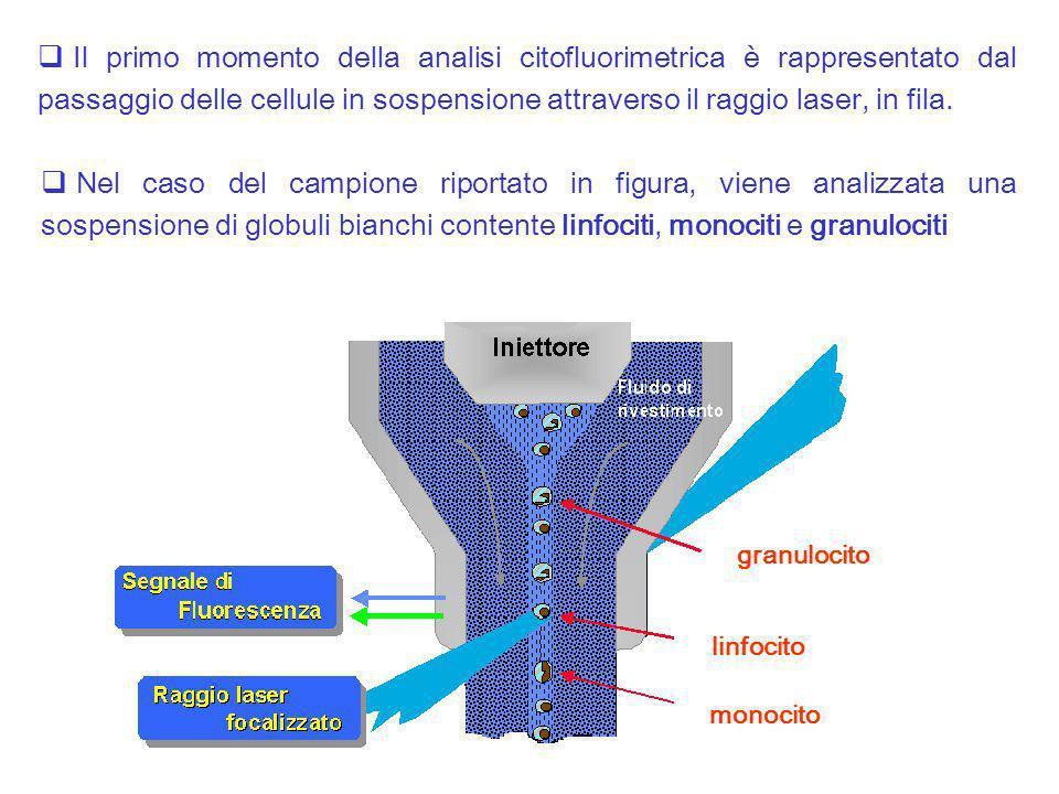 Il primo momento della analisi citofluorimetrica è rappresentato dal passaggio delle cellule in sospensione attraverso il raggio laser, in fila.