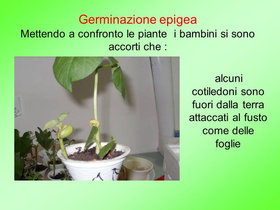 Germinazione epigea Mettendo a confronto le piante i bambini si sono accorti che :