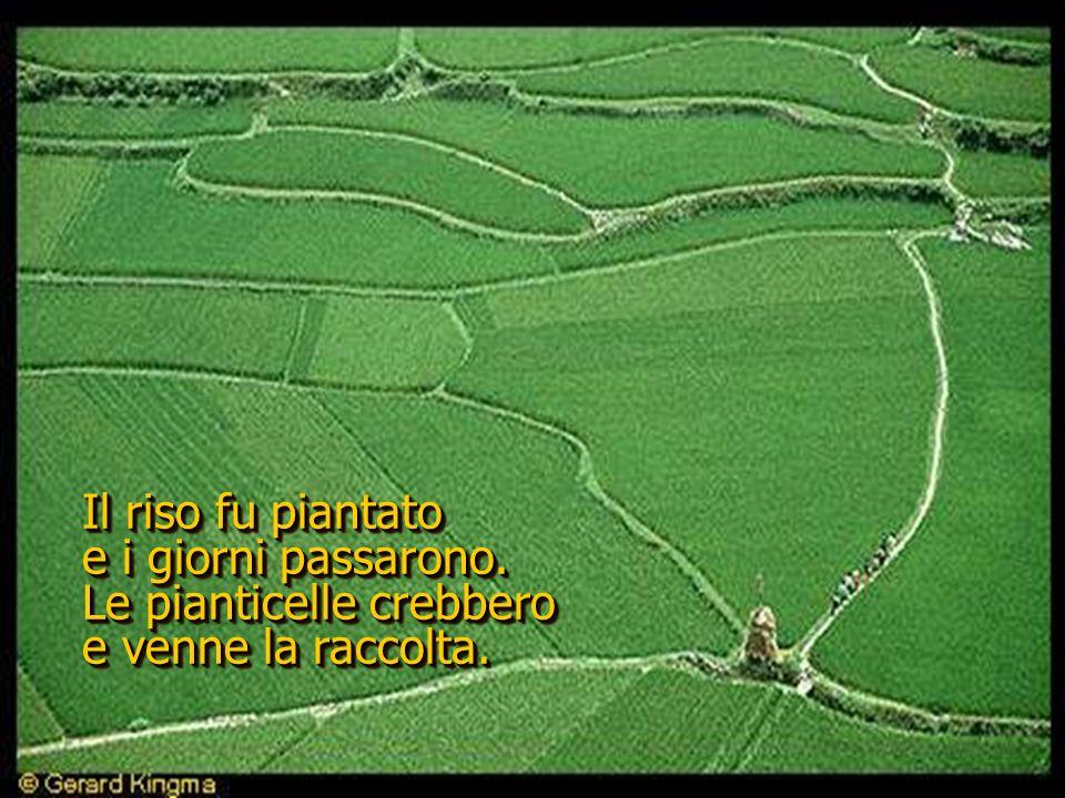 Il riso fu piantato e i giorni passarono. Le pianticelle crebbero e venne la raccolta.