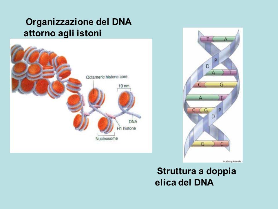 attorno agli istoni Organizzazione del DNA