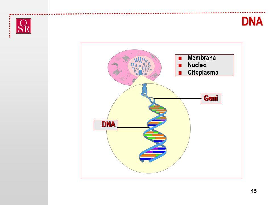 DNA Geni DNA Chromosomes Cell Nucleus ■ Membrana ■ Nucleo ■ Citoplasma