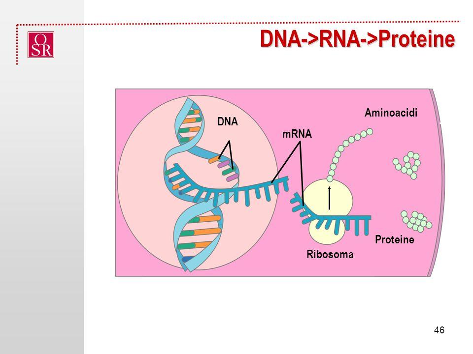 DNA->RNA->Proteine