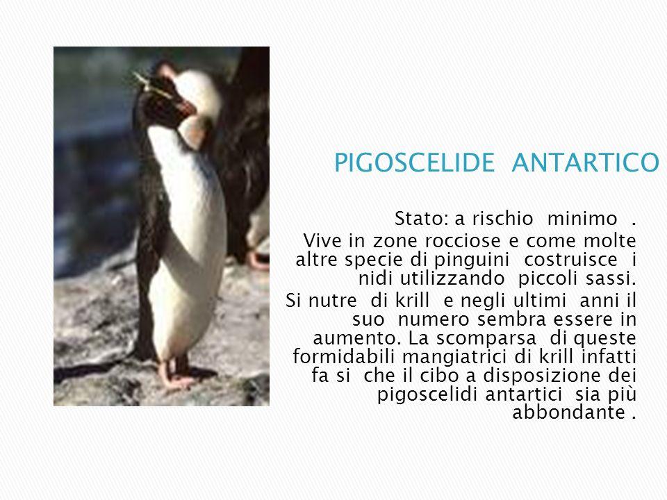 PIGOSCELIDE ANTARTICO