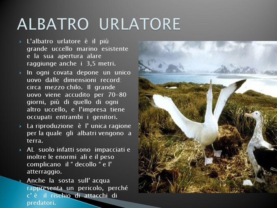 ALBATRO URLATORE