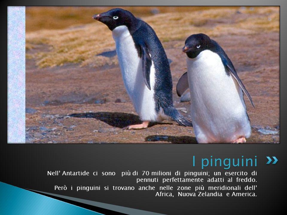I pinguini Nell' Antartide ci sono più di 70 milioni di pinguini; un esercito di pennuti perfettamente adatti al freddo.