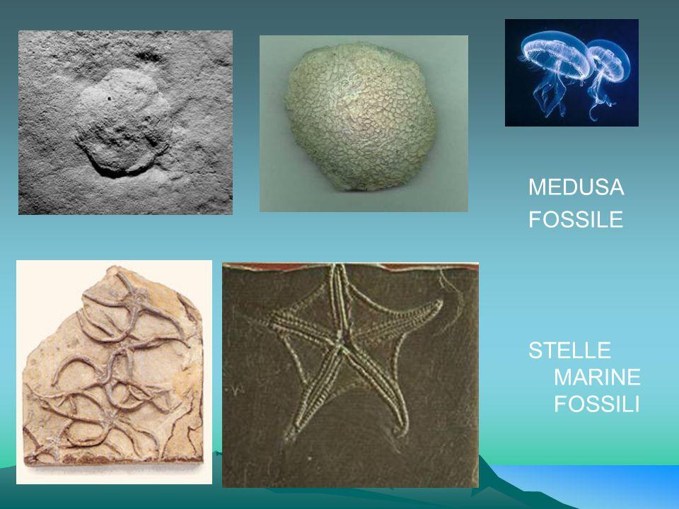 MEDUSA FOSSILE STELLE MARINE FOSSILI