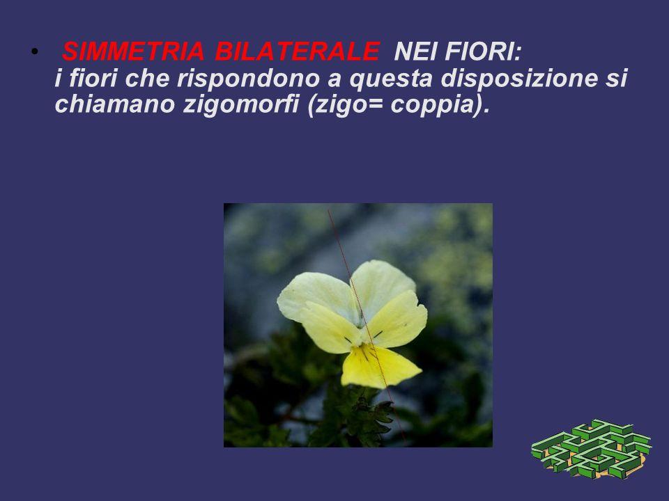 SIMMETRIA BILATERALE NEI FIORI: i fiori che rispondono a questa disposizione si chiamano zigomorfi (zigo= coppia).