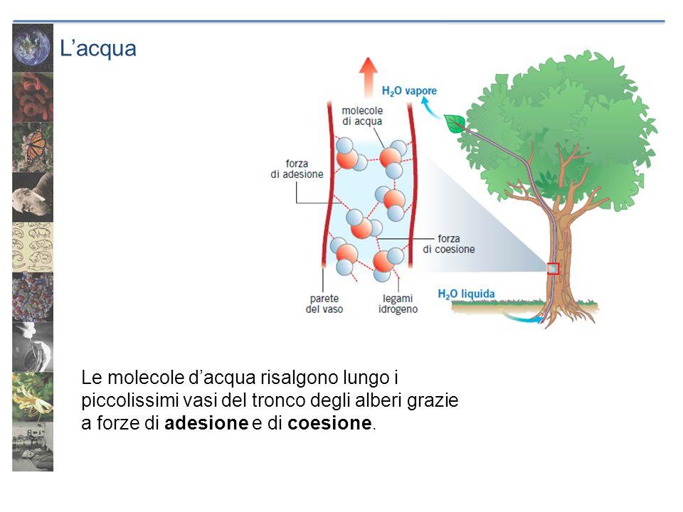 L'acqua Le molecole d'acqua risalgono lungo i piccolissimi vasi del tronco degli alberi grazie a forze di adesione e di coesione.