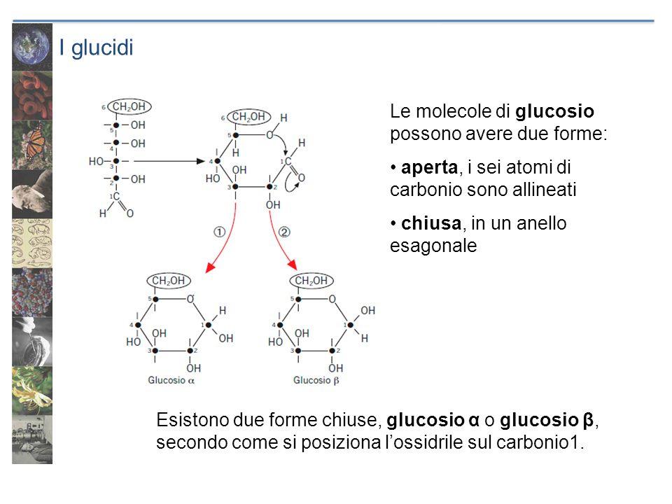 I glucidi Le molecole di glucosio possono avere due forme: