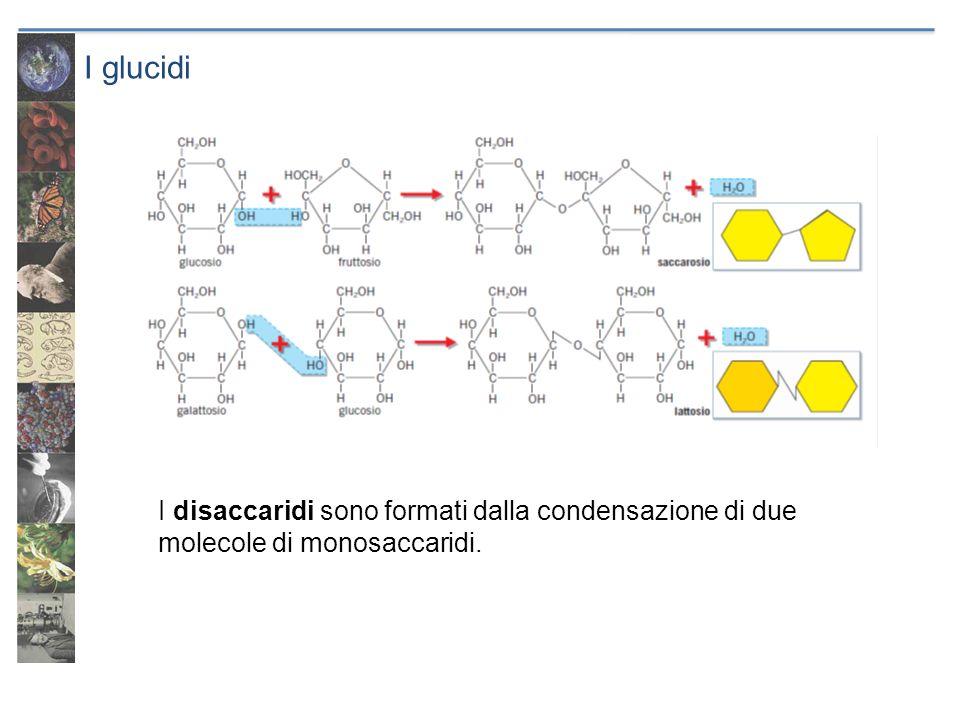 I glucidi I disaccaridi sono formati dalla condensazione di due molecole di monosaccaridi.
