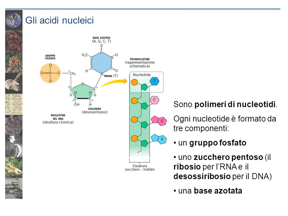 Gli acidi nucleici Sono polimeri di nucleotidi.