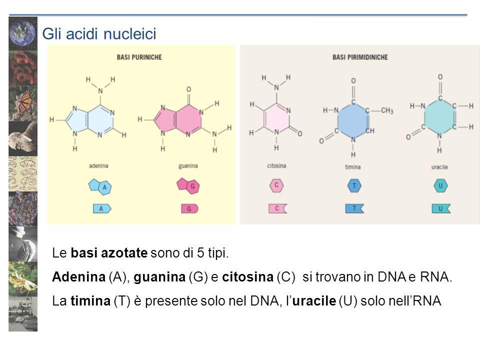 Gli acidi nucleici Le basi azotate sono di 5 tipi.