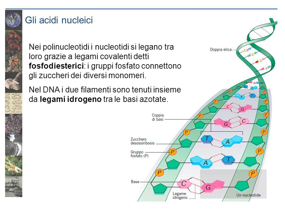 Gli acidi nucleici