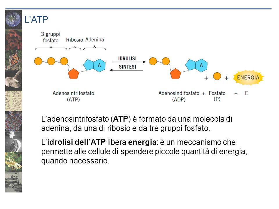 L'ATP L'adenosintrifosfato (ATP) è formato da una molecola di adenina, da una di ribosio e da tre gruppi fosfato.