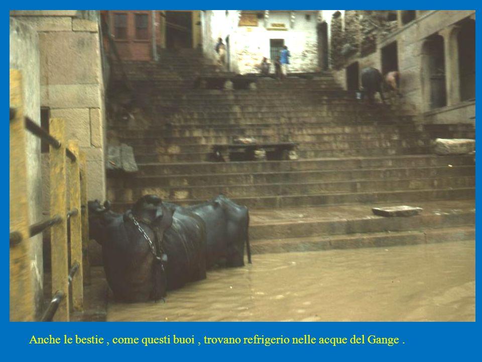 Anche le bestie , come questi buoi , trovano refrigerio nelle acque del Gange .