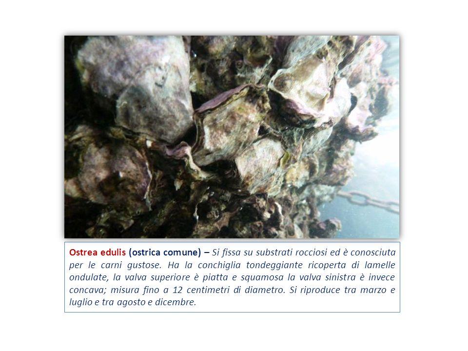Ostrea edulis (ostrica comune) – Si fissa su substrati rocciosi ed è conosciuta per le carni gustose.