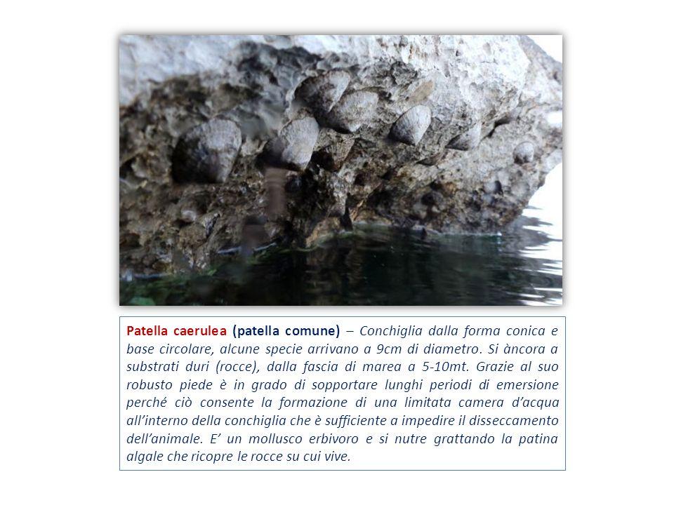 Patella caerulea (patella comune) – Conchiglia dalla forma conica e base circolare, alcune specie arrivano a 9cm di diametro.