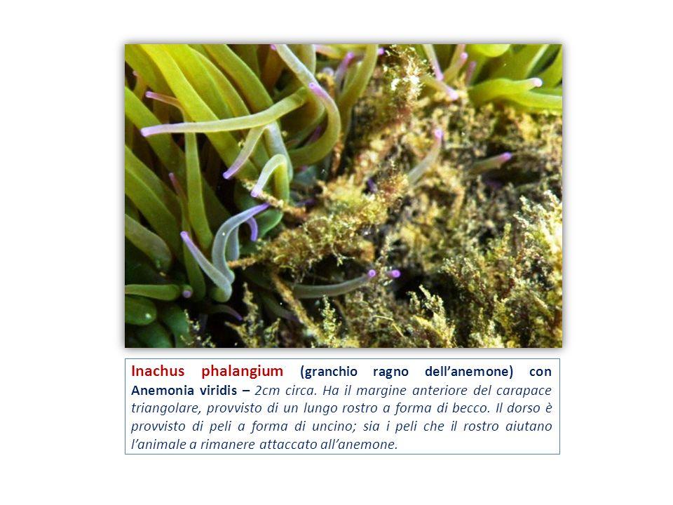 Inachus phalangium (granchio ragno dell'anemone) con Anemonia viridis – 2cm circa.