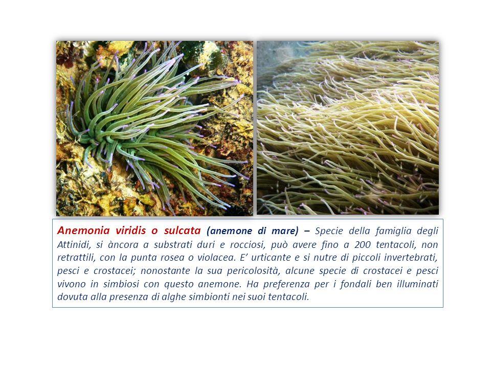 Anemonia viridis o sulcata (anemone di mare) – Specie della famiglia degli Attinidi, si àncora a substrati duri e rocciosi, può avere fino a 200 tentacoli, non retrattili, con la punta rosea o violacea.