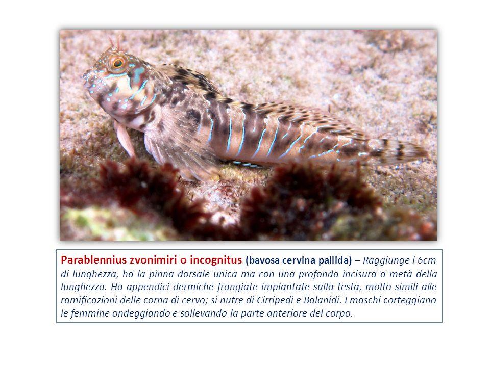 Parablennius zvonimiri o incognitus (bavosa cervina pallida) – Raggiunge i 6cm di lunghezza, ha la pinna dorsale unica ma con una profonda incisura a metà della lunghezza.