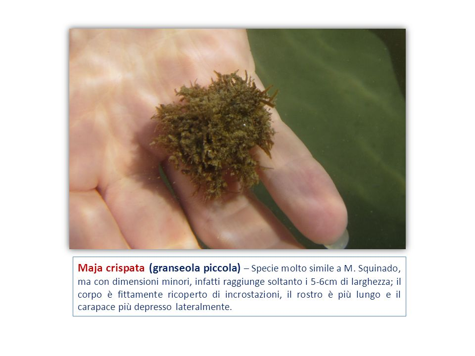 Maja crispata (granseola piccola) – Specie molto simile a M