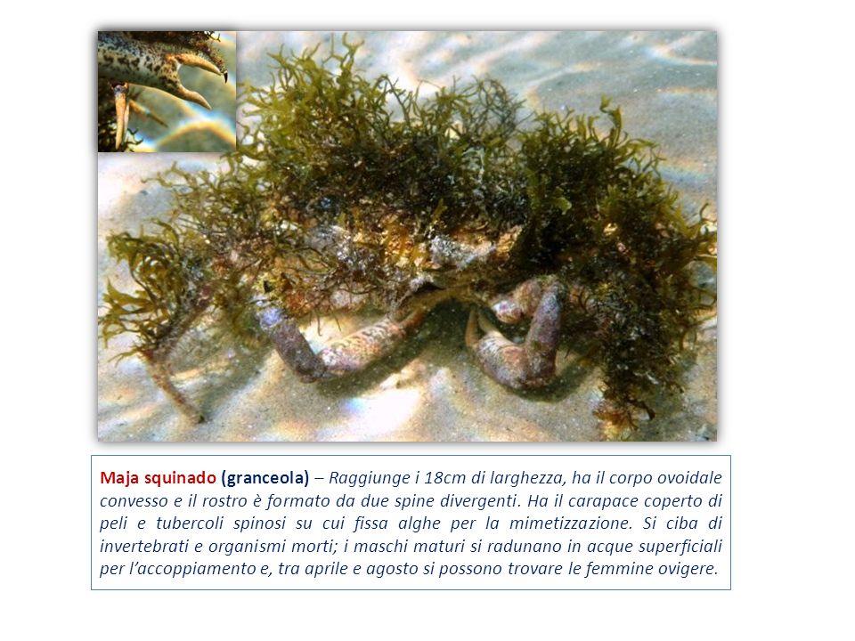 Maja squinado (granceola) – Raggiunge i 18cm di larghezza, ha il corpo ovoidale convesso e il rostro è formato da due spine divergenti.