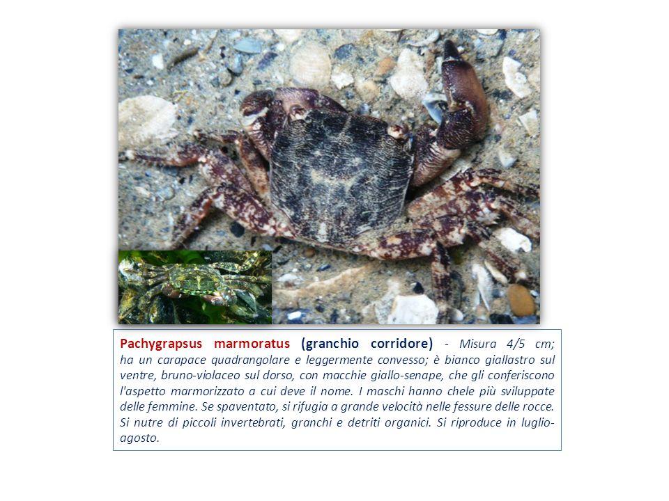 Pachygrapsus marmoratus (granchio corridore) - Misura 4/5 cm; ha un carapace quadrangolare e leggermente convesso; è bianco giallastro sul ventre, bruno-violaceo sul dorso, con macchie giallo-senape, che gli conferiscono l aspetto marmorizzato a cui deve il nome.