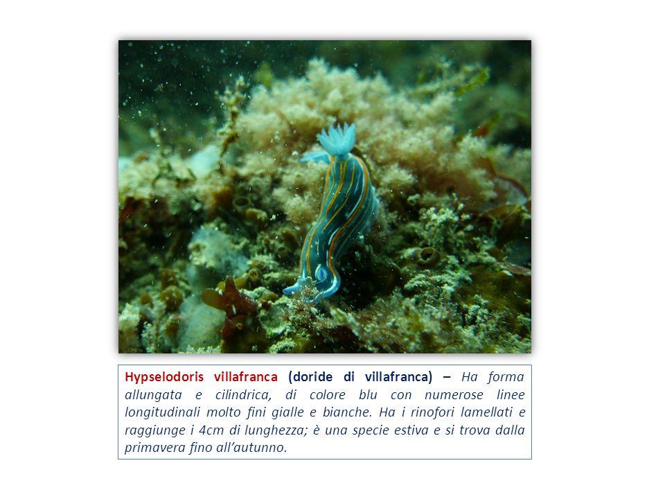 Hypselodoris villafranca (doride di villafranca) – Ha forma allungata e cilindrica, di colore blu con numerose linee longitudinali molto fini gialle e bianche.