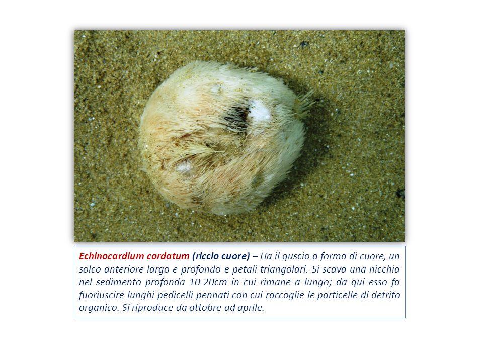 Echinocardium cordatum (riccio cuore) – Ha il guscio a forma di cuore, un solco anteriore largo e profondo e petali triangolari.