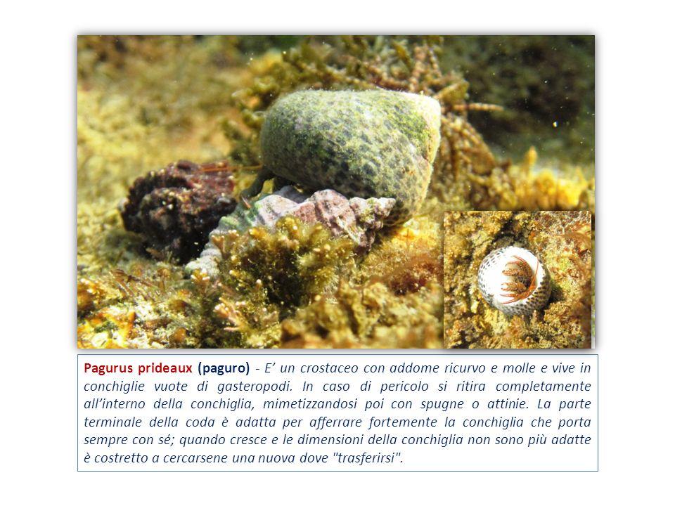 Pagurus prideaux (paguro) - E' un crostaceo con addome ricurvo e molle e vive in conchiglie vuote di gasteropodi.