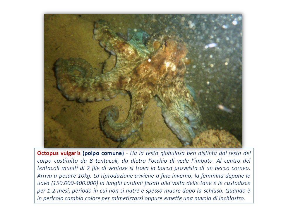 Octopus vulgaris (polpo comune) - Ha la testa globulosa ben distinta dal resto del corpo costituito da 8 tentacoli; da dietro l'occhio di vede l'imbuto.