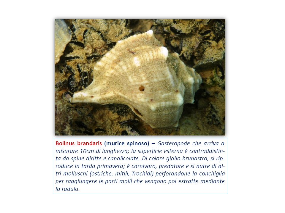 Bolinus brandaris (murice spinoso) – Gasteropode che arriva a misurare 10cm di lunghezza; la superficie esterna è contraddistin-ta da spine diritte e canalicolate.