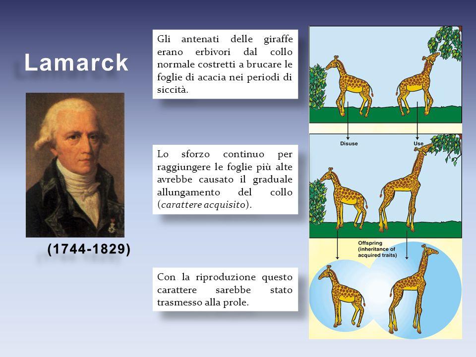 Gli antenati delle giraffe erano erbivori dal collo normale costretti a brucare le foglie di acacia nei periodi di siccità.
