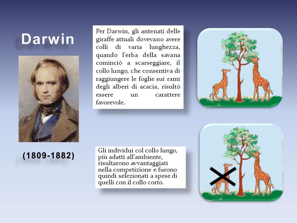 Per Darwin, gli antenati delle giraffe attuali dovevano avere colli di varia lunghezza, quando l erba della savana cominciò a scarseggiare, il collo lungo, che consentiva di raggiungere le foglie sui rami degli alberi di acacia, risultò essere un carattere favorevole.