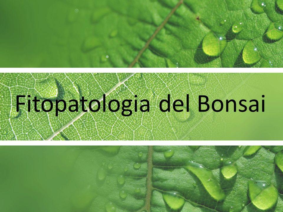 Fitopatologia del Bonsai