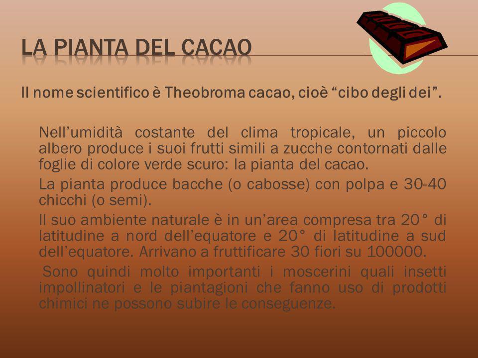 La pianta del cacaoIl nome scientifico è Theobroma cacao, cioè cibo degli dei .