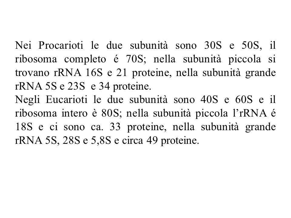Nei Procarioti le due subunità sono 30S e 50S, il ribosoma completo é 70S; nella subunità piccola si trovano rRNA 16S e 21 proteine, nella subunità grande rRNA 5S e 23S e 34 proteine.