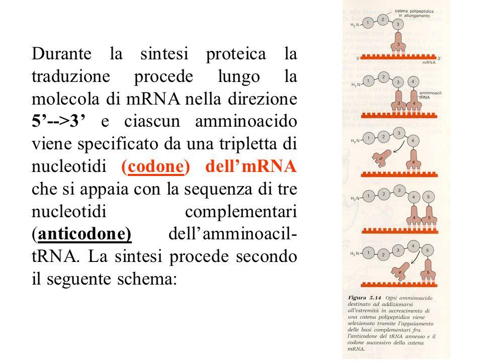 Durante la sintesi proteica la traduzione procede lungo la molecola di mRNA nella direzione 5'-->3' e ciascun amminoacido viene specificato da una tripletta di nucleotidi (codone) dell'mRNA che si appaia con la sequenza di tre nucleotidi complementari (anticodone) dell'amminoacil-tRNA.