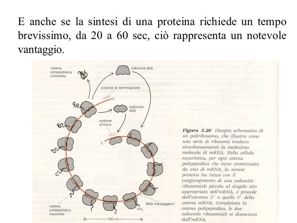 E anche se la sintesi di una proteina richiede un tempo brevissimo, da 20 a 60 sec, ciò rappresenta un notevole vantaggio.