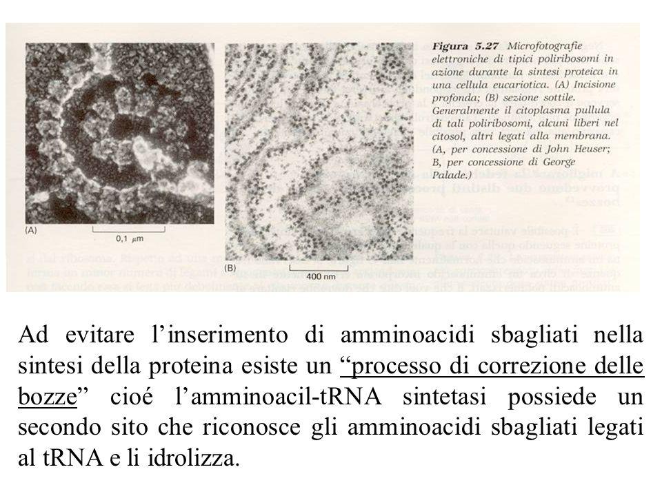 Ad evitare l'inserimento di amminoacidi sbagliati nella sintesi della proteina esiste un processo di correzione delle bozze cioé l'amminoacil-tRNA sintetasi possiede un secondo sito che riconosce gli amminoacidi sbagliati legati al tRNA e li idrolizza.