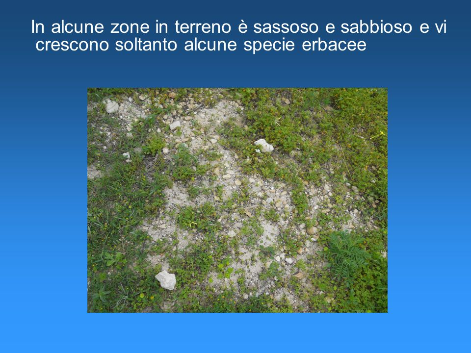 In alcune zone in terreno è sassoso e sabbioso e vi crescono soltanto alcune specie erbacee