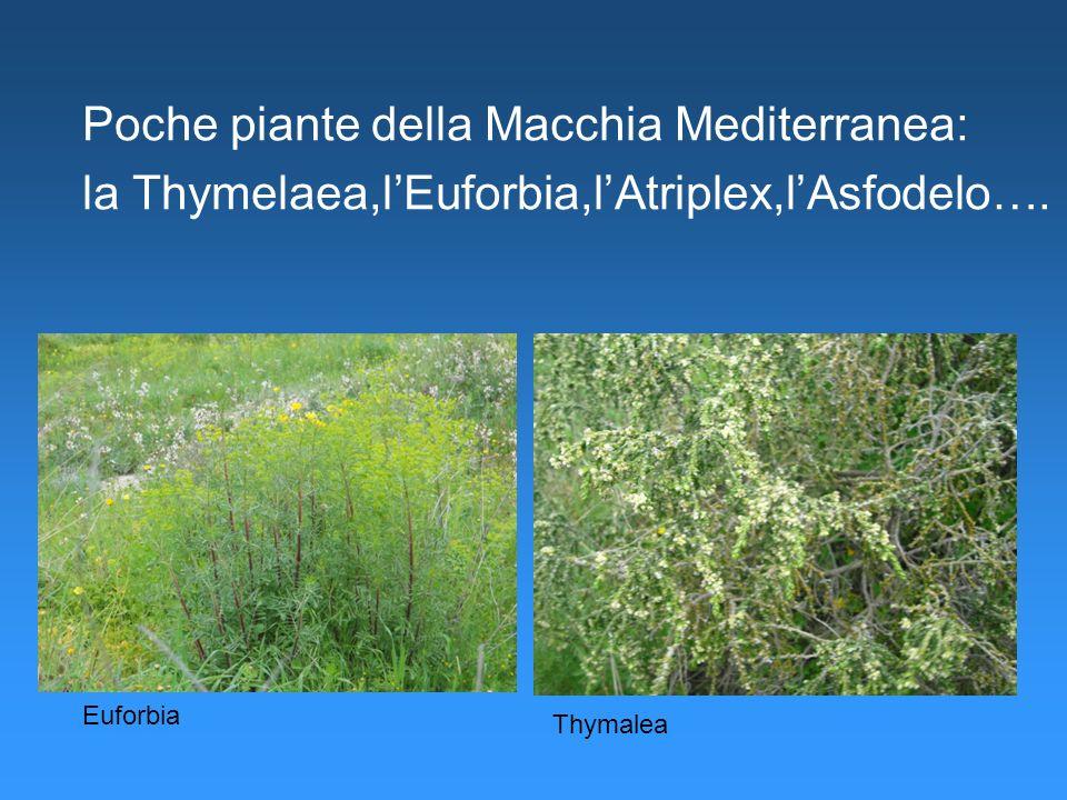 Poche piante della Macchia Mediterranea: