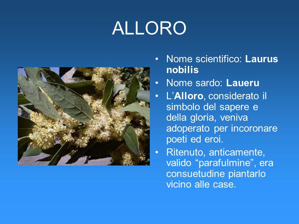 ALLORO Nome scientifico: Laurus nobilis Nome sardo: Laueru