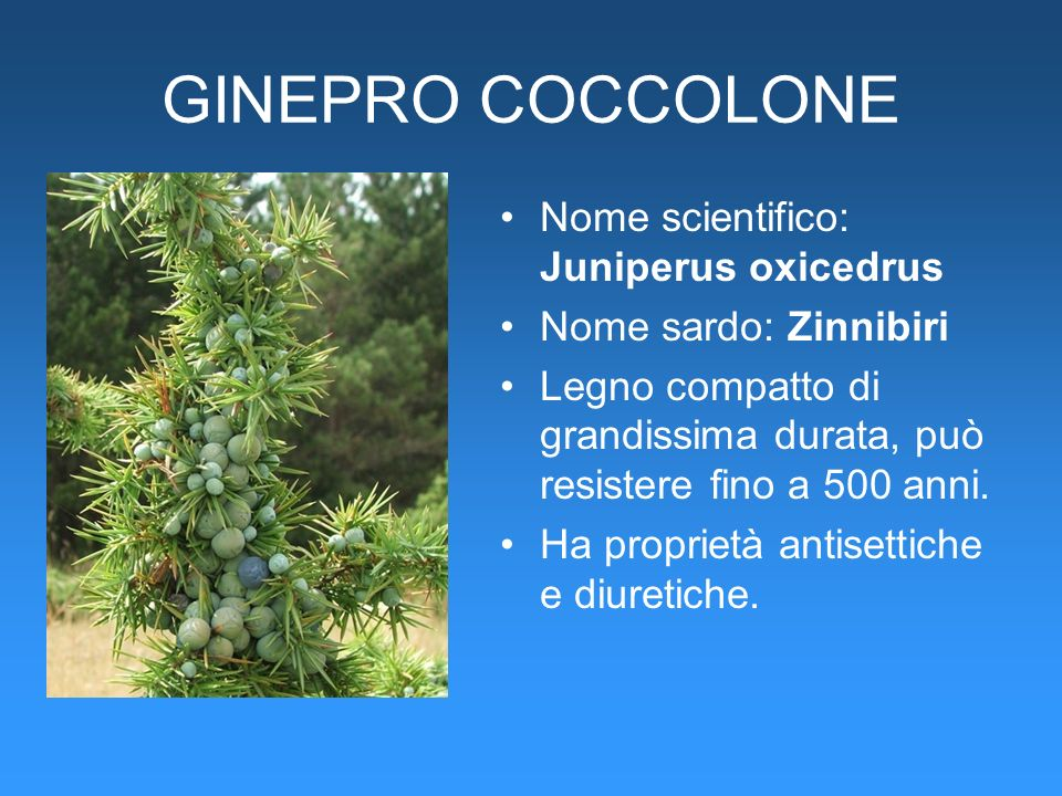 GINEPRO COCCOLONE Nome scientifico: Juniperus oxicedrus