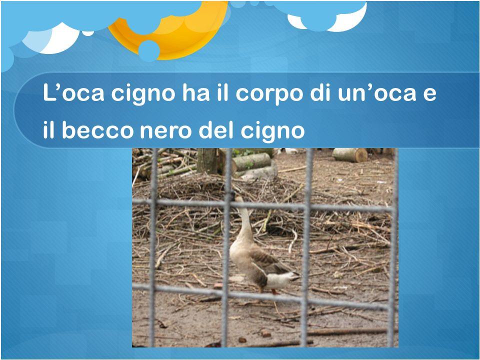 L'oca cigno ha il corpo di un'oca e il becco nero del cigno